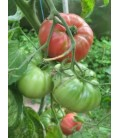 tomate english rose - plantel