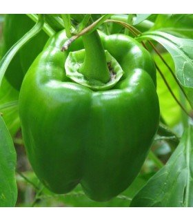 pimiento California wonder (semillas no tratadas)