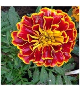 Tagetes Spanish Brocade - no tratadas