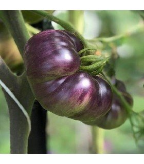 Tomate indigo Blue beauty - planta