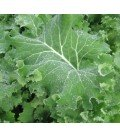 semillas de Kale Red Russian
