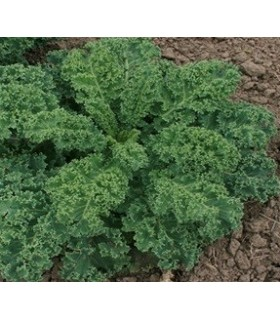 Kale Dwarf green curled afro- semillas sin tratamiento